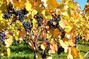 Lemberger Weintrauben